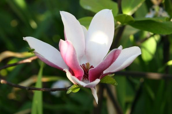 1 Magnolia liliflora