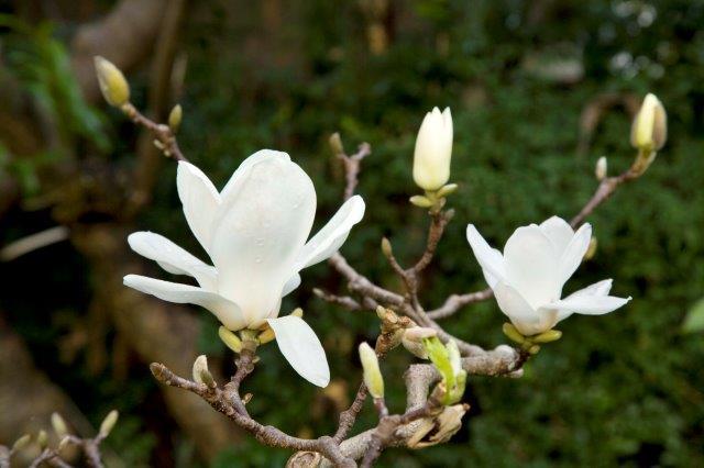 2 Magnolia denudata