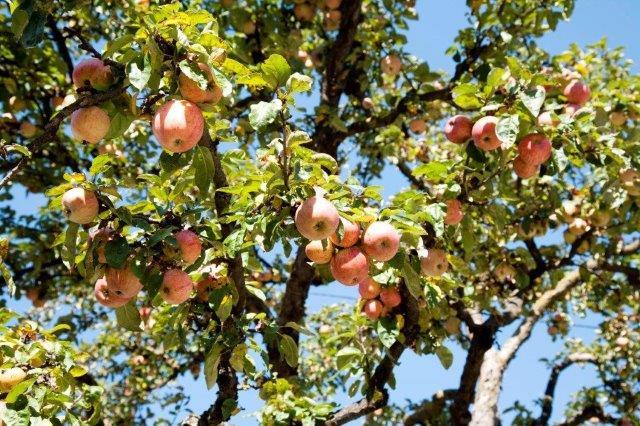 1 Autumn apples