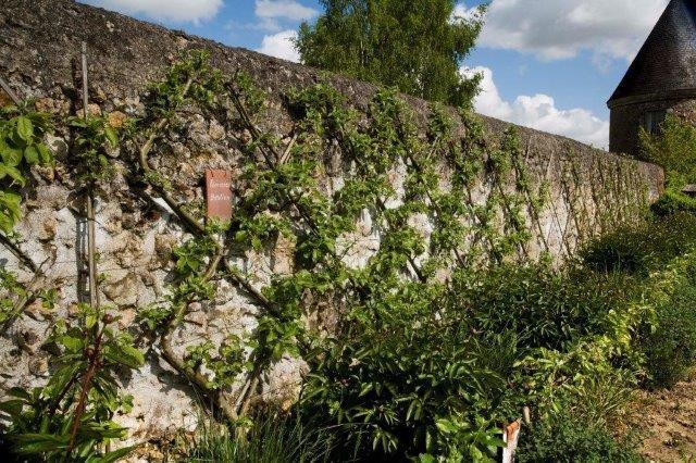 12 espalier Belgian Fence or Bouche Thomas