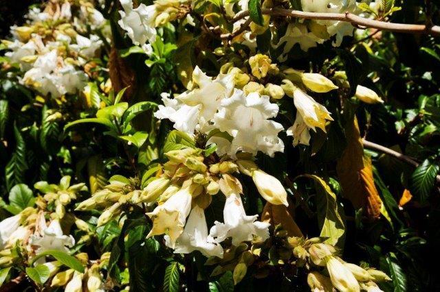 2 Beaumontia grandiflora