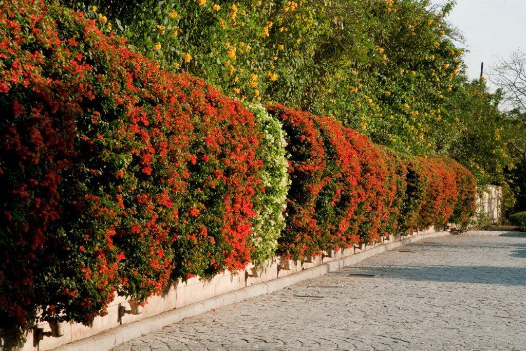 4a Bougainvillea hedge FNL 8325