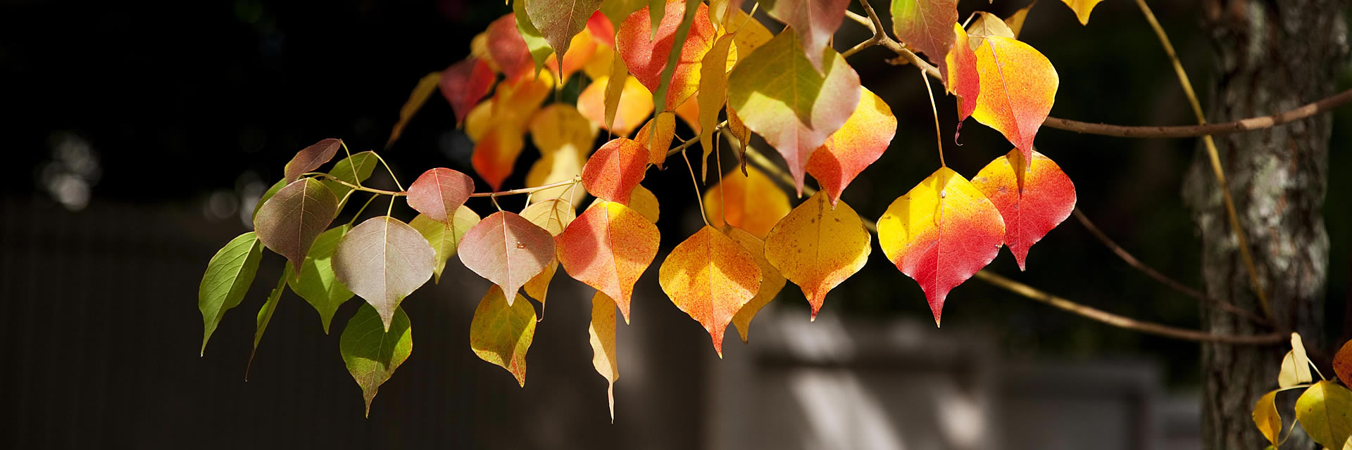holly-forsyth-autumn-chinese-tallow