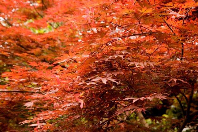 1 Acer palmatum