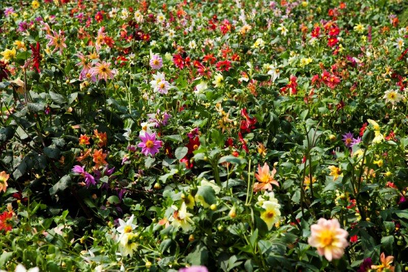 4-Dahlia meadow in Lodhi gardens
