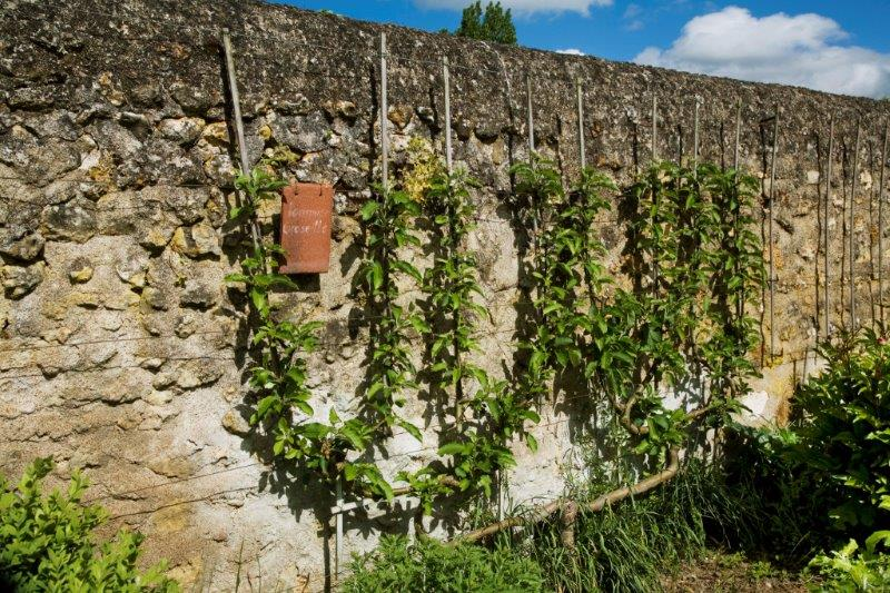 9-Espalier candelabra or quadruple cordon - Copy