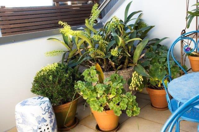 Pic 4  Dendrobium speciosum FNL