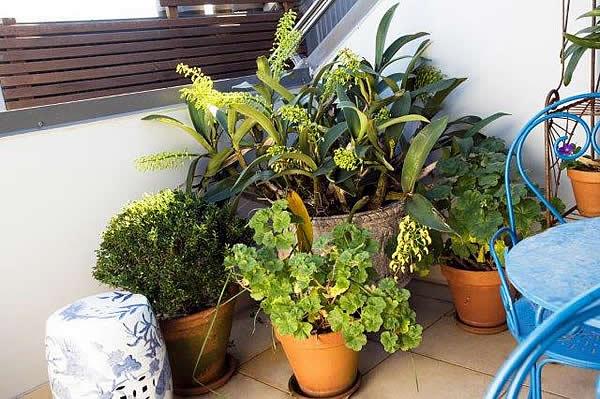 2-Dendrobium-speciosum