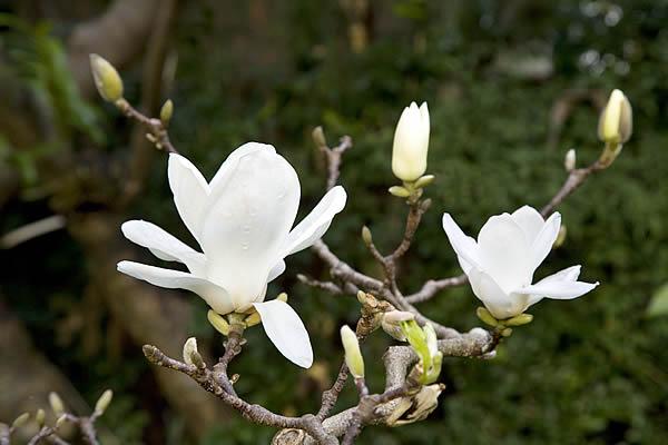 3-Magnolia-denudata