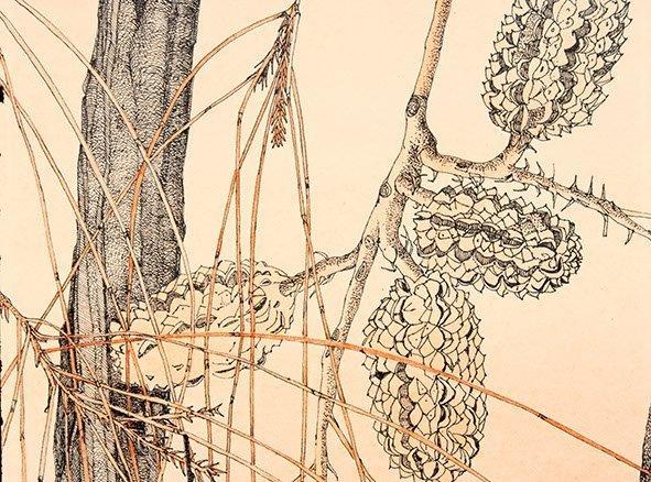 11 Desert Oak Allocasurina decaisneana