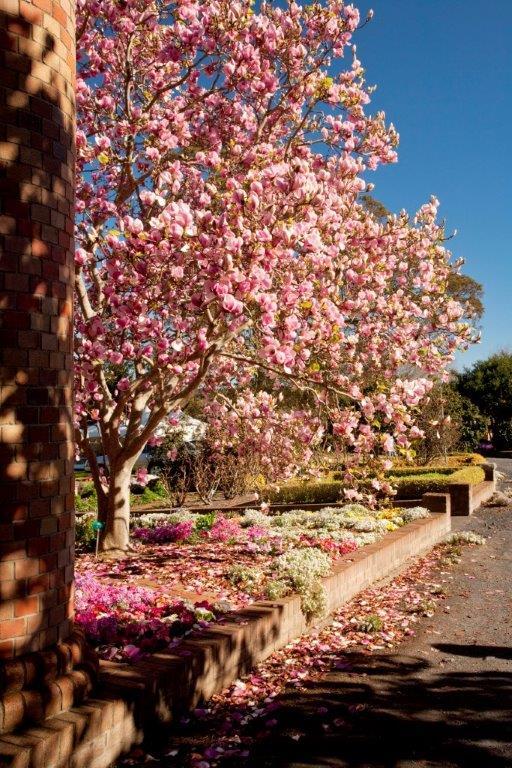 3-Magnolia  x  soulangiana San-Jose FNL