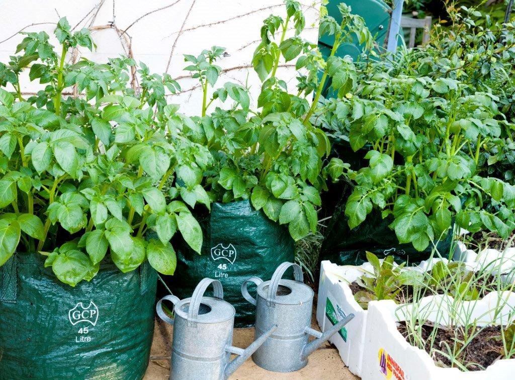 8-Edible potato cultivation 1