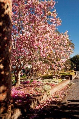 4-Magnolia-x-soulangiana-San-Jose