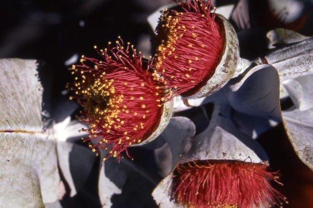 2 Eucalyptus macrocarpa