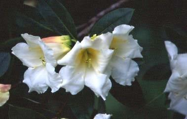 Rhododendron Loderi final1