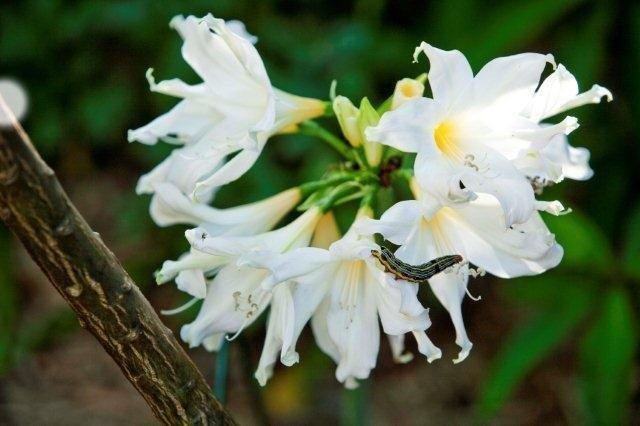 10 Clivea caterpiller on amaryllis