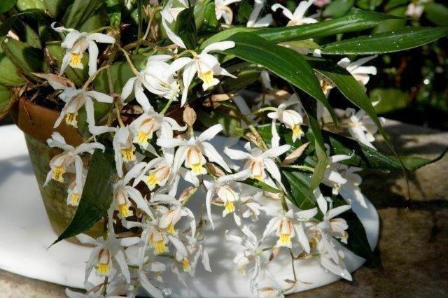 3b Coelogyne Unchained Melody