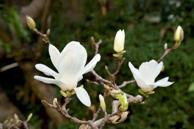 6 Magnolia denudata