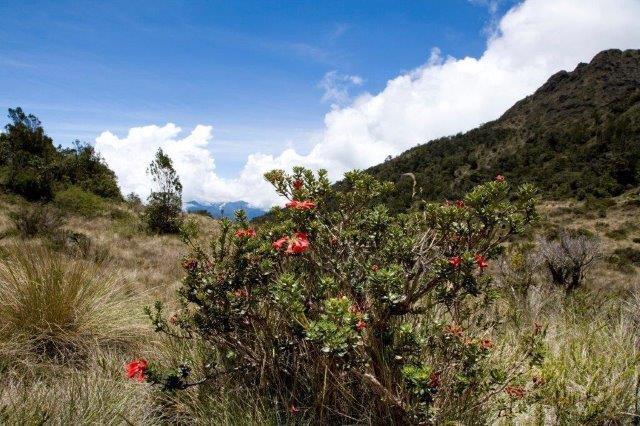 3 Rhodie Mt Wilhelm