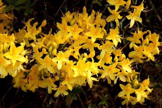 4 Rhododendron luteum